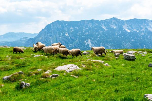 Image accueil de la page Localisation des troupeaux d'ovins du site Montsapey